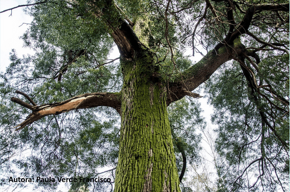 Árbol frondoso y con musgo visto desde abajo.